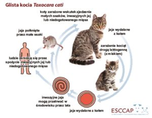 thumbnail of Cykl_rozwojowy_glista_kocia_Toxocara_cati