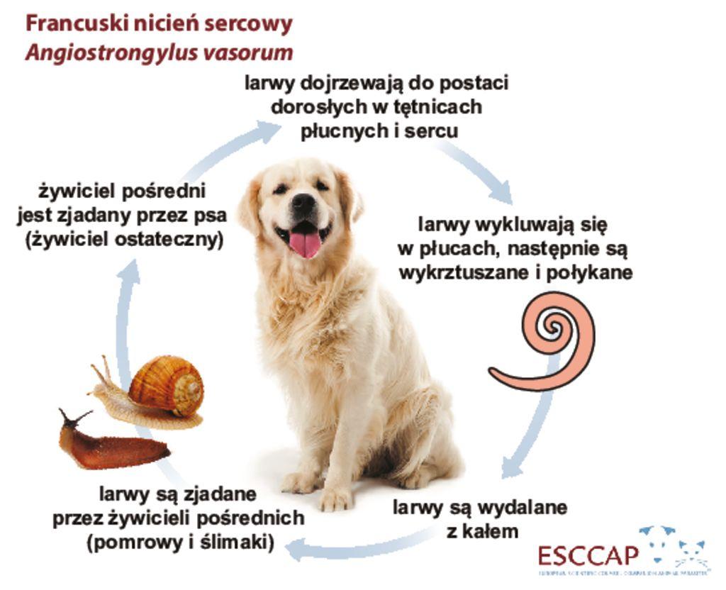 thumbnail of Cykl_rozwojowy_nicien_sercowy_Angiostrongylus_vasorum