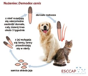 thumbnail of cykl_rozwojowy_nuzenca_Demodex_canis