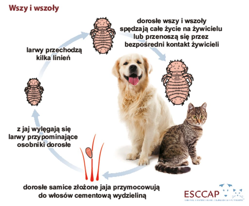 thumbnail of cykl_rozwojowy_wszy_i_wszolow