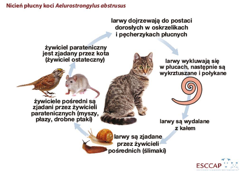 thumbnail of Cykl rozwojowy-nicień plucny koci Aelurostrongylus abstrusus